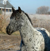 Appaloosa Sport Horse Filly Champion Delicious Design
