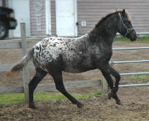 Appaloosa Sport Horse Filly-Dusty 11/10/07