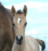 Appaloosa Sport Horse Filly Gloree One day old